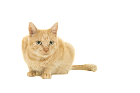 Red female cat lying down looking away isolated on a white background Stock Photo
