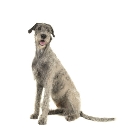 Pretty irish wolfhound sitting on a white background