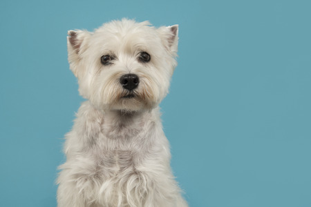 Portrait of a West highland white terrier or westie dog looking at the camera on a blue background