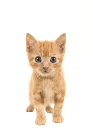 Standing red ginger baby cat walking towards the camera isolated on a white background Stockfoto