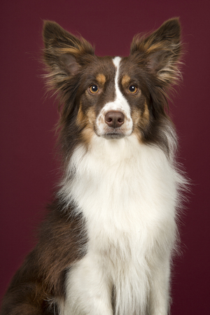 Portrait of miniature american shepherd dog looking at the camera on a deep red background in a vertical image Stockfoto