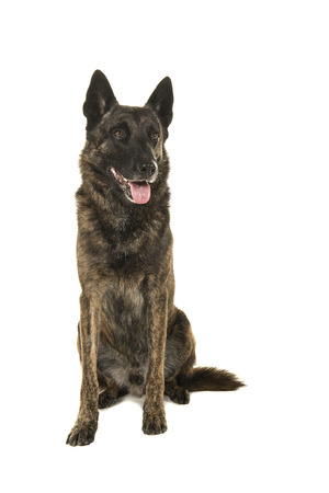 Brindle dutch shepherd dog sitting seen from the front looking away isolated on a white background Imagens