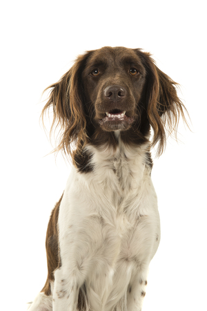 Portrait of a cute heidewachtel hunting dog looking at the camera on a white background Stockfoto