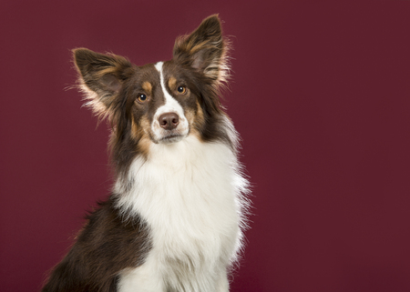 Portrait of miniature american shepherd dog looking at the camera on a deep red background in a horizontal image Stockfoto
