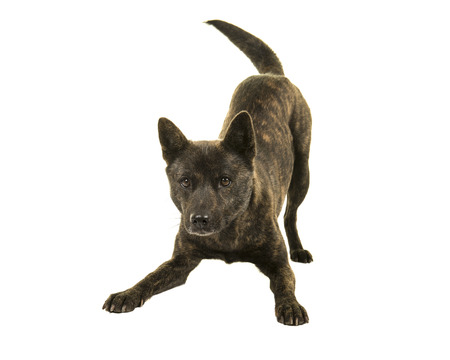 Female Kai Ken dog the national japanese breed standing in a play bow isolated on a white background wagging her tail Stock fotó
