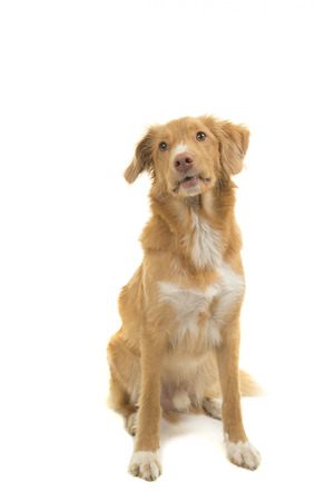 Cute Nova scotia duck tolling retriever looking up isolated on a white background in a vertical image Stock Photo