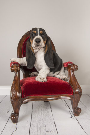 Cute basset hound puppy sitting on a red classic chair in a grey studio setting