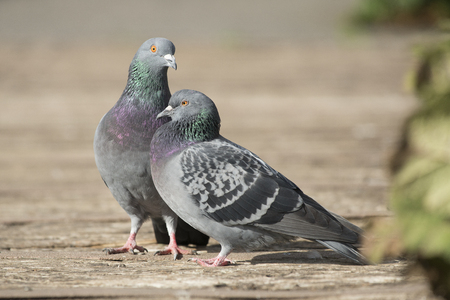 Two pigeons in the sunlight acting like lovebirds on a path