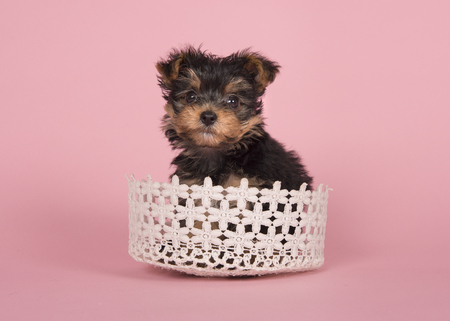 Cute yorshire terrier puppy in a basket on a pink background Banque d'images