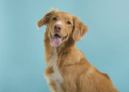 Portrait of a nova scotia duck tolling retriever looking at camera on a blue background with mouth open