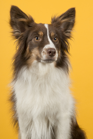 Portrait of miniature american shepherd dog looking away a on a yellow background