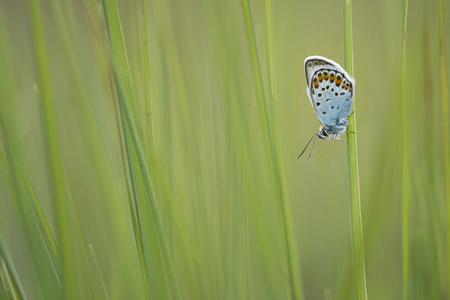 Silver studded blue resting in green grass