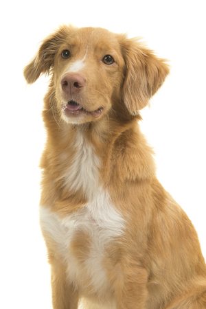 Portrait of a nova scotia duck tolling retriever looking away isolated on a white background in a vertical image Stock Photo