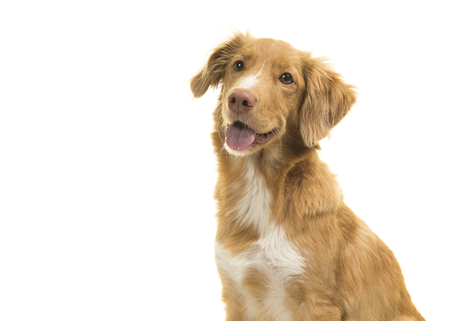 Portrait of a nova scotia duck tolling retriever looking away with mouth open isolated on a white background 免版税图像