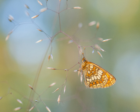 Heath fritillary butterfly hanging in the grass on pretty bokeh background Stock Photo