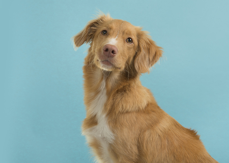 Portrait of a nova scotia duck tolling retriever looking at camera on a blue background Stock Photo
