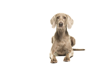 Weimaraner dog lying down looking at the camera seen from the front isolated on a white background