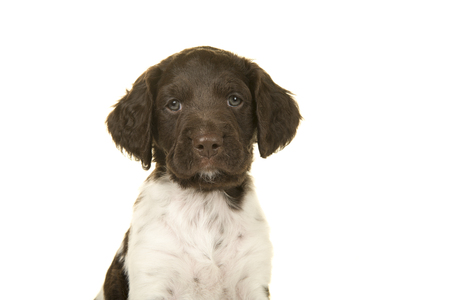 Portrait of a small munsterlander puppy dog looking at the camera on a white background