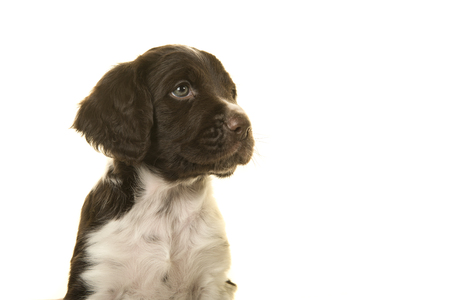 Portrait of a small munsterlander puppy dog on a white background looking to the side