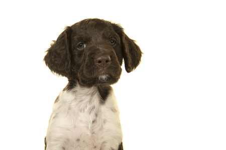 Portrait of a small munsterlander puppy dog on a white background Stockfoto