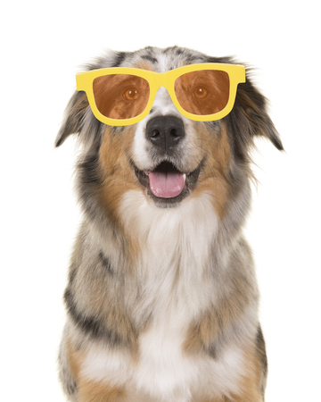 Portrait of a happy smiling australian shepherd dog wearing yellow summer glasses on a white background Stock Photo