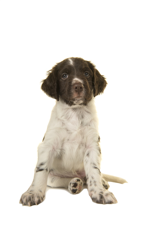 Sitting cute small munsterlander puppy dog looking at the camera on a white background