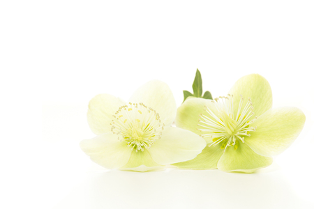 Two blooming christmas rose flowers lying isolated on a white background
