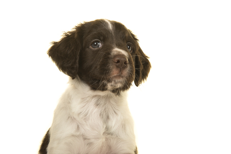 Portrait of a small munsterlander puppy dog on a white background looking up and away