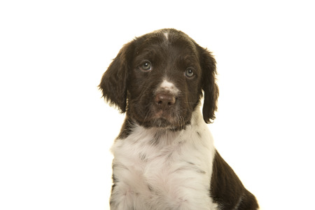 Portrait of a cute small munsterlander puppy dog on a white background looking at the camera