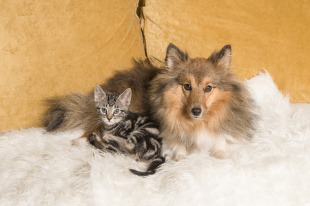 Cute adult shetland sheepdog lying down on a couch  together with a tabby kitten both looking at the camera