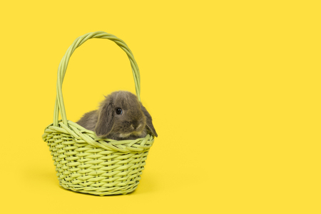 Cute young grey rabbit in a green wicker basket on a yellow background