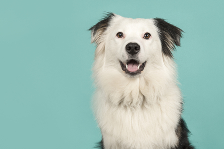 Portrait of a black and white australian shepherd looking at the camera on a turquoise blue background with space for copy Banque d'images - 123555066