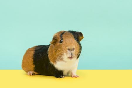 Hübsches mehrfarbiges Meerschweinchen, das auf einem gelben und blauen Hintergrund in die Kamera schaut Standard-Bild