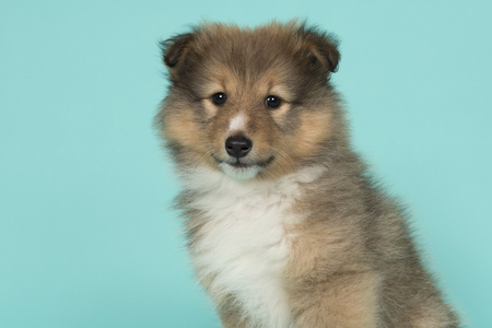 Portrait of a shetland sheepdog puppy on a blue  background looking at the camera seen from the side