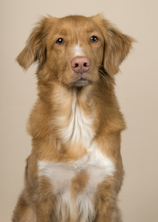 Portrait of a nova scotia duck tolling retriever looking at the camera on a creme colored background 免版税图像