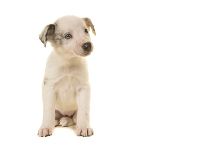 Cute white puppy with blue eyes sitting looking to the right isolated on a white background Banque d'images - 123558547