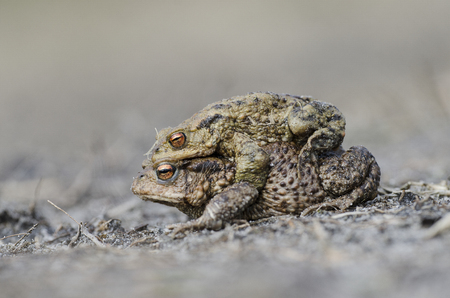 Two toads in amplex walking seen from the side