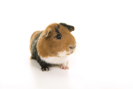Smooth haired tricolour guinea pig seen from the front on a white background Stock Photo