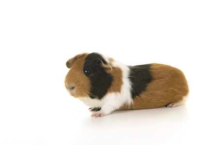 Smooth haired guinea pig seen from the side on a white background Stock Photo