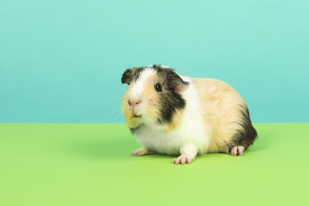 Smooth haired tricolour guinea pig on a green and blue background