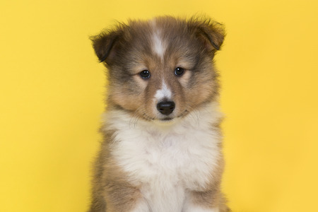 Portrait of a shetland sheepdog puppy on a yellow background looking at the camera seen from the front Banque d'images