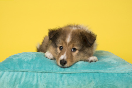 Cute shetland sheepdog puppy lying down on a blue cushion on a yellow background seen from the front