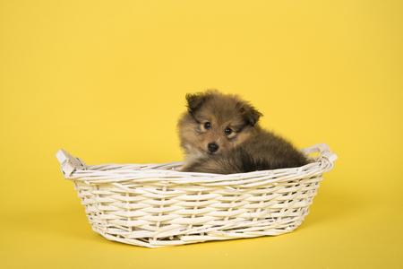 Shetland sheepdog puppy lying down in a white basket on a yellow background looking at the camera over its shoulder