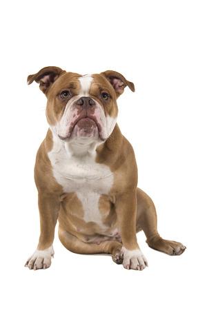 Bulldog inglés antiguo sentado aislado sobre un fondo blanco.