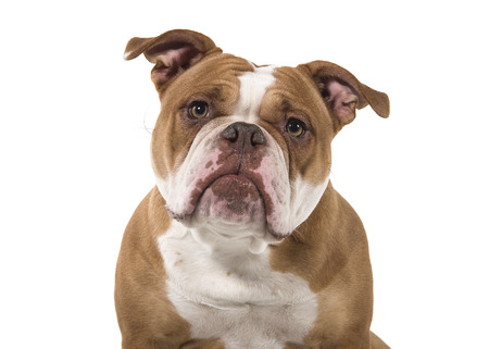 Portrait of an old english bulldog leaning forward and looking at the camera isolated on a white background Standard-Bild