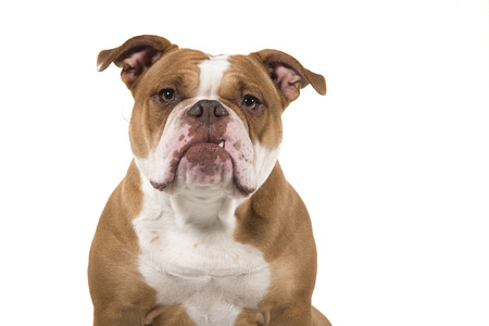 Portrait of an old english bulldog looking at the camera isolated on a white background