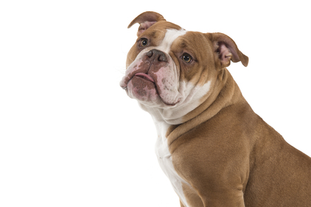 Portrait of an old english bulldog looking away seen from the side isolated on a white background
