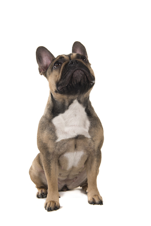 Sitting french bulldog looking up isolated on a white background in a vertical image Stock Photo