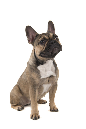 Sitting french bulldog looking away isolated on a white background in a vertical image with mouth closed Stock Photo