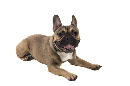French bulldog lying down looking at the camera isolated on a white background